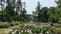 Peony Garden gift protects largest collection of heirloom peonies in North America
