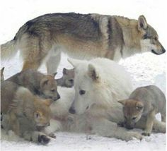SPEAK OUT! Wolves Need Their Families to Survive! Tell Interior Secretary Sally Jewell and U. Fish and Wildlife Service Director Dan Ashe to keep wolf families protected under the Endangered Species Act. Wolf Husky, Wolf Pup, Animals And Pets, Baby Animals, Cute Animals, Wild Animals, Wolf Spirit, Spirit Animal, Wolf Pictures
