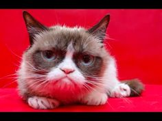 Grumpy Cat's Worst #IceBucketChallenge Ever! - YouTube- Sept 2014 | Pinned to the Tard the Grumpy Cat board here: http://www.pinterest.com/fairbanksgrafix/tard-the-grumpy-cat/