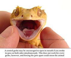 JB's Crested Gecko Info