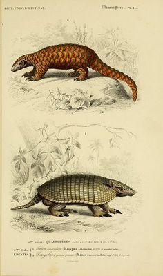 Resultado de imagen para mammals scientific illustrations