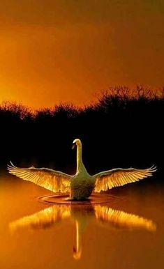 Magnificent Swan gently touching down, in the firey glow of the setting sun.