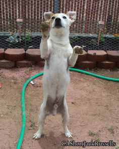 Jack Russells are so smart, i was able to teach scrat this trick in one day