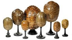 Tortoise Shell - Collection - Eduardo-n- Garza Nautilus, Shell Display, Shell Decorations, Tortoise Shell, Tortoise Care, Shell Collection, Natural Curiosities, Driftwood Crafts, Nature Table