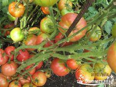 Советы кизимы по выращиванию томатов 611