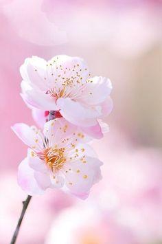 Pale pink cherry blossom | Pastel | Spring | Pretty blush flowers