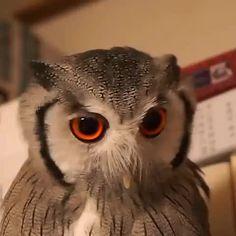 Owl get pissed off