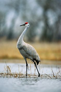 NEBRASKA - this Sandhill Crane is searching for delicious food in the Platte River Valley, near Kearney!