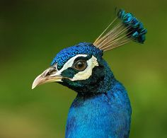 Image result for peacock face close up