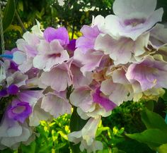 Bunga pohon Markisa ... it's a beautiful one ...
