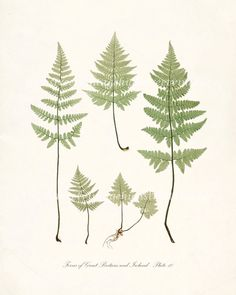 Vintage Botanical Print - Ferns of Britain and Ireland - Plate 10 Natural History Wall Decor  8x10. $15.00, via Etsy.