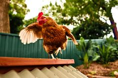 Hens need space so they can stretch. #hensdeservebetter