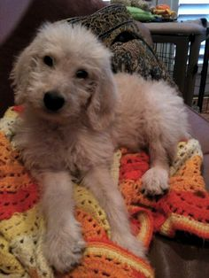 Puppy Harry Howard the Labradoodle