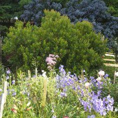California lilacs,brightening a Canadian garden