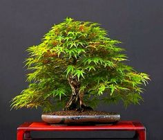 Japanese Maple - Acer palmatum
