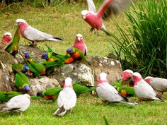 These are Galahs and Lorikeets from South Australia. In Alice Springs the Galah is a common visitor to your garden, but not so much Lorikeets. Both are beautiful birds, and I would have brought a Lorikeet back with me if I could, they are so bright and pretty.