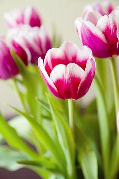 tulips brighten my day.