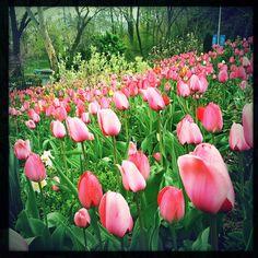 Jardim de tulipas em Morningside Heights, em Nova York, NY, USA.  Fotografia: Joe Schumacher no Flickr.