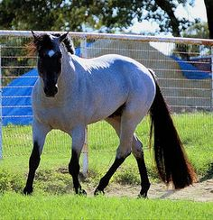 """Roan: Blue Roan.  Extensive roan - note the typical dark """"spears"""" running up the front of the legs. One of my favorite stallions, My Final Notice."""