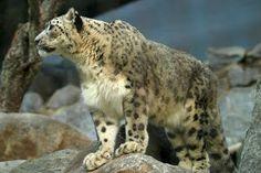 O Leopardo-das-neves (Uncia uncia) é um felino que habita as grandes altitudes da Ásia central, principalmente o Tibete, o Nepal, a Índia, o Paquistão, o Himalaia e o monte Everest. Pouco se sabe a respeito desse animal arredio e solitário, que raramente é visto por seres humanos.