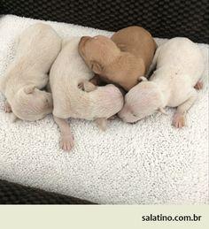 Italian Greyhound Puppies   #dog #salatino #clubesalatino #canil #perro #dogs #cute #love #nature #animales #dog #ilovemydog #ilovemypet #cute #galgos #greyhound #galgoespanhol #galgo