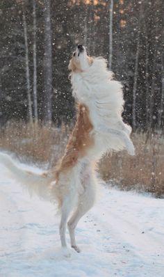 Beautiful Borzoi #dog #snow