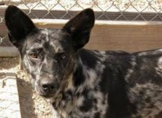 Gorgeous JoJo - a young male Catahoula Leopard in Violet, Louisiana, gets along great with other dogs and loves to play. JoJo Isn't a very needy guy... very scared upon arrival, but has since opened up to everyone... He's been through a lot in his short little life, and would love a warm, loving home (preferably sans kitties!), to lay his head down in your lap...