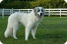 6/18/19/ Westport, CT - Great Pyrenees. Meet Willie, a puppy for adoption. http://www.adoptapet.com/pet/13184047-westport-connecticut-great-pyrenees