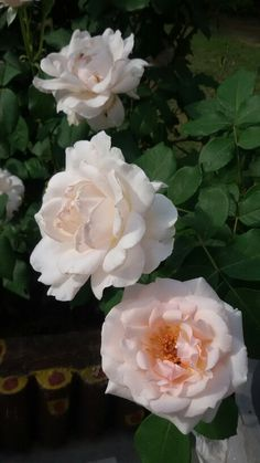 Off white colour roses in my garden.