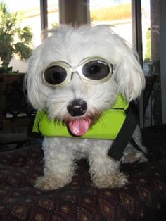 Ready to go boating I need those glasses for Chico!!