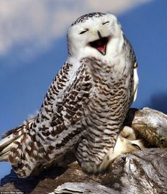 This snowy owl has a rare old time in the Olympic National Park in Washington state. Smiling Animals, Funny Animals, Cute Animals, Owl Photos, Owl Pictures, Beautiful Owl, Animals Beautiful, Owl Bird, Pet Birds
