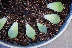 Aloe Vera, Diy Gardening, Cactus, Succulents Garden, Acai Bowl, Plants, Healthy Sleep, Tricks, Life Hacks