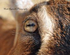Goat's eye