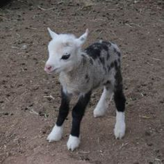 Butterfly, who is a cross between a pygmy goat and a sheep, otherwise known as a