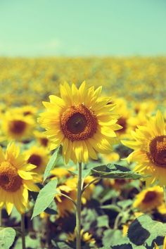 The look of sunshine - if I could plant only sunflowers in my yard (no grass) !