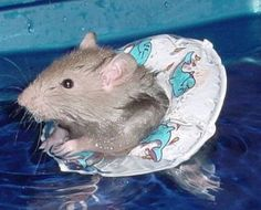 Cute Hamster Swimming