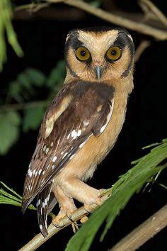 Buff-fronted Owl (Aegolius harrisii) by Nortondefeis