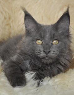 Maine Coon Kitten | Cattery Conikacoon | The Netherlands | www.kittentekoop.nl http://www.mainecoonguide.com/male-vs-female-maine-coons/