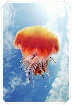 Aslan yelesi denizanası