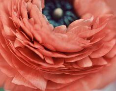 Ranunculus salmon pink orange