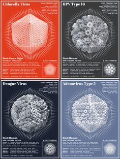 Eleanor Lutz, dont vous pouvez retrouver les création précédentes ici, continue de créer des superbes infographies animées en gif avec cette série de cartes d'identité de virus qui montrent leur structure et leurs caractéristiques principales.