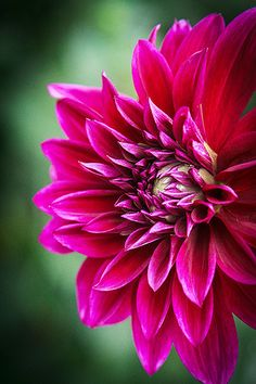 ~~A Flower Blooms ~ dahlia by Kevdiaphoto~~