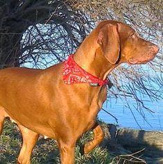 Szépségem Mans Best Friend, Best Friends, Hungarian Vizsla, Beautiful Dogs, Doggies, Madness, Blue, Animals, Hunting