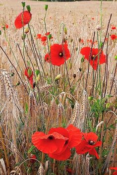 Shop for poppies art from the world's greatest living artists. All poppies artwork ships within 48 hours and includes a money-back guarantee. Choose your favorite poppies designs and purchase them as wall art, home decor, phone cases, tote bags, and more! Wild Poppies, Wild Flowers, Poppies Art, Amazing Flowers, Beautiful Flowers, Garden Styles, Belle Photo, Planting Flowers, Bloom
