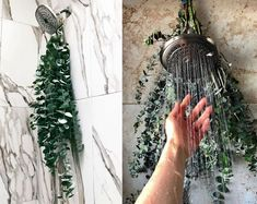 Hanging eucalyptus branches with fresh leaves on your showerhead is commonly termed as a eucalyptus shower that taps into bringing medicinal and aromatic properties of the plant to shower. Eucalyptus Shower, Eucalyptus Branches, Eucalyptus Centerpiece, Eucalyptus Bouquet, Eucalyptus Oil, Eucalyptus Wedding, Bathroom Plants, Small Bathroom, Shower Bathroom