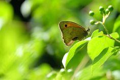 papillon bokeh 600
