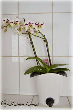 Valkoinen Kaniini: Orkidean hoitovinkit