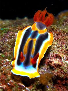 Nudibranch - Oh hi, do you like my new tail feathers?