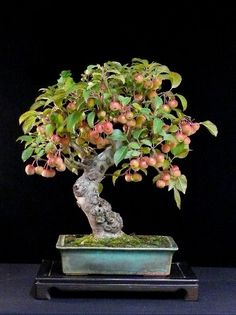 Many people feel attracted by apple trees because they have nice childhood memories of climbing fruit trees in the countryside or in their parents' backyard and picking apples. Bonsai Apple Tree, Japanese Bonsai Tree, Bonsai Tree Types, Indoor Bonsai, Bonsai Plants, Bonsai Garden, Bonsai Trees, Unique Trees, Small Trees