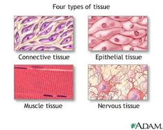 different kinds of tissues in the human body